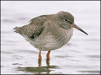 Redshank by Andy Hay