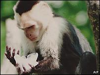 Capuchin monkey - file photo