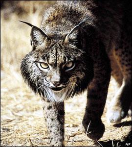Iberian lynx   Image: AP