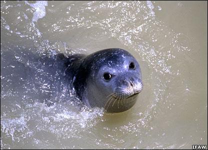 Mediterranean monk seal   Image: Ifaw