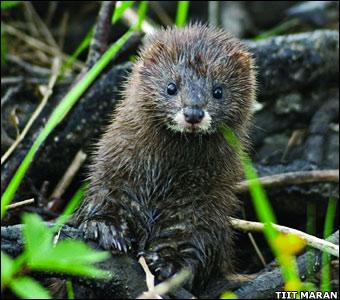 European mink   Image: Tiit Maran