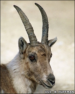 Alpine ibex  Image: Ultimate Ungulate Images - B. Huffman