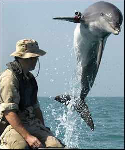 K-Dog a bottlenose dolphin leaping out of the water while being trained for mine detection work with the US Navy in 2003.