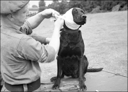 A sergeant of the Royal Army Veterinary Corps bandaging the wounded ear of Jasper, a mine dog, 1944.