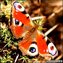 Peacock Butterfly  (WTPL/G.Holmes)