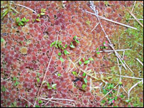 Sphagnum moss (picture: RSPB)