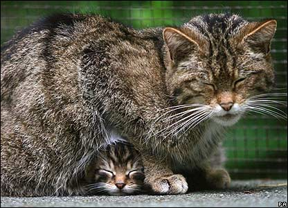 A rare Scottish wildcat kitten shelters under its mother at Wildwood Discovery Park in Kent, UK