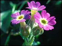 Scottish Primrose (Primula Scotica)
