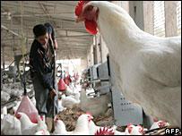A chicken farm north of Cairo, Egypt 28/04/07