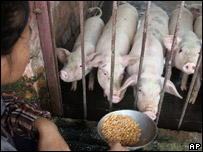 Pigs in China