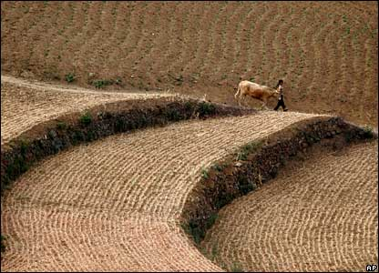 A farmer and an ox walk through a wheat field in Luoyang, China's Henan province