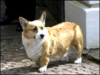 A Royal corgi