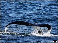 File image of a humpback whale's fluke