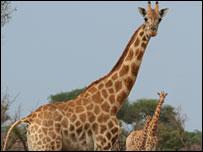 Giraffe in Zakouma National Park