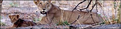 Lions in Zakouma National Park