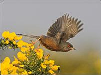 Dartford warbler   Image: RSPB