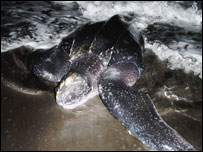 One of the Leatherback turtles (picture: Aberystwyth University)