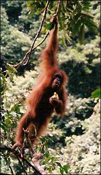 Orangutan in Sumatra   Image: SKS Thorpe