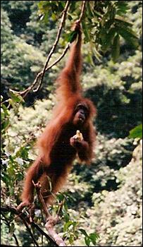 Orangutan in Sumatra   Image: SKS Thorpe