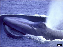 Blue whale (Science Photo Library)