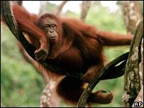 Orangután descansando