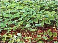 Cultivo de habichuelas con agricultura sostenible en Rep. Dominicana