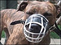 Pit-bull terrier