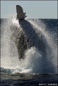 Humpback whale (Getty Images)