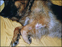 Rocky's dog Shep after the attack