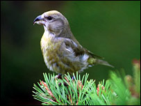 Scottish crossbill. Picture by RSPB Images