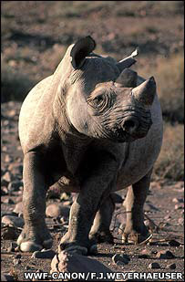 Black rhinoceros, WWF-Canon / Frederick J. Weyerhaeuser