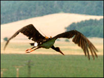 Stork
