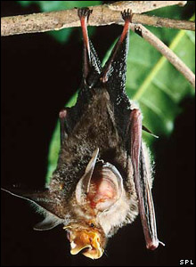 Large eared horseshoe bat