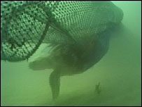 Turtle swimming next to a fishing net (Image: TVE)