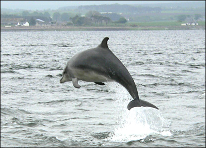 Bottlenose dolphin at Chanonry Point (Kirsten Goesmann)