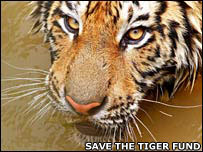 Tiger (Image: Save the Tiger Fund)