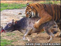 Tiger attacking a cow (Image: Save the Tiger Fund)