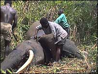 Poachers skin an elephant