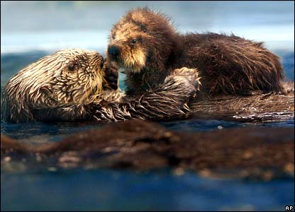 A Russian sea otter and her pup