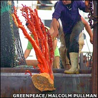 Red coral   Image: Greenpeace/Malcolm Pullman