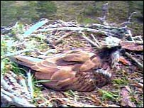 EJ on the nest on Thursday. Picture courtesy of RSPB Scotland