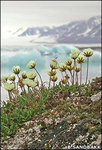 Mountain avens (Image: Bjorn Erik Sandbakk)