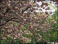 Cherry blossom (Image: BBC)