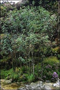 Catacol whitebeam tree