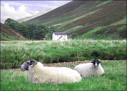 Sheep in the Pentland Hills