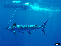 A Blue Marlin