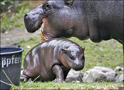 Newborn baby hippo at Berlin Zoo