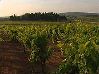 Vineyard in Languedoc