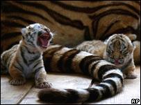 В середине ХХ века в мире сохранилось всего 40 амурских тигров. Фото BBC