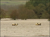 Sheep stranded in floodwater